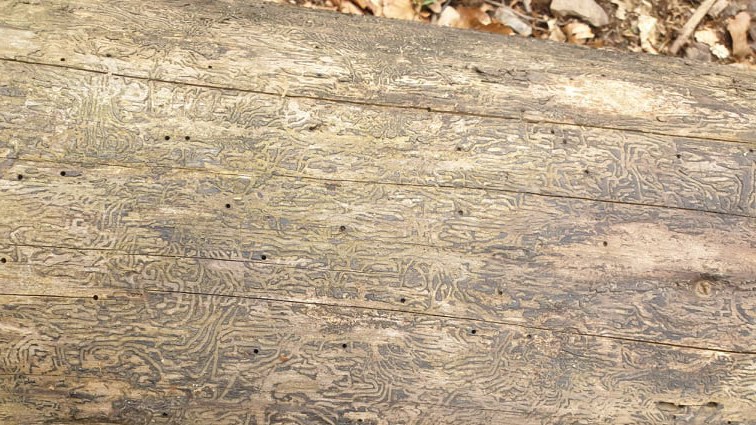 Baumstamm vom Borkenkäfer befallen